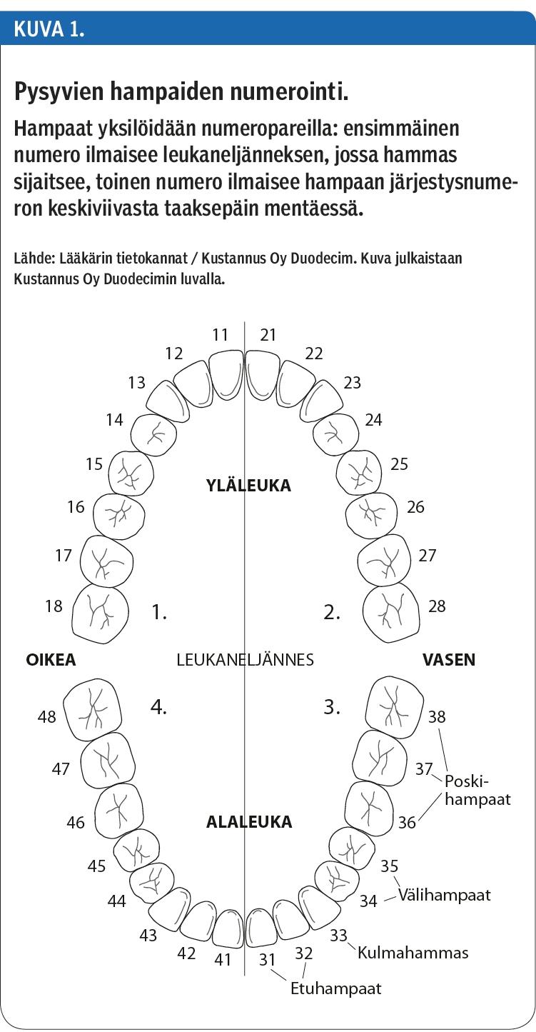 Hampaat Numerointi